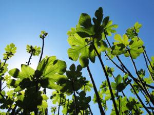 Cette photo à été prise en contre plongée, on peut y voir au premier plan un ensemble de branches de figuier remplies de feuilles, d'un vert tendre de printemps qui contraste avec un ciel d'un bleu intense.