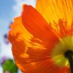 Gros plan sur fleur de pavot orange et ciel bleu.