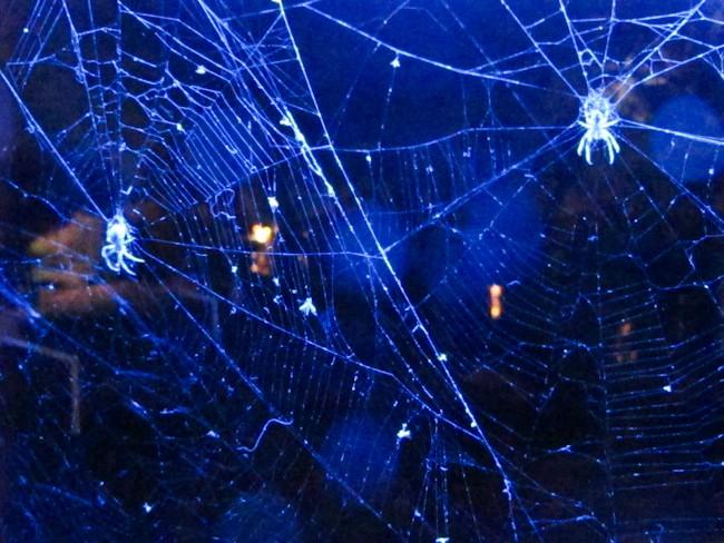 Arraignées sur leurs toiles éclairées dans la nuit par une lumière bleue.