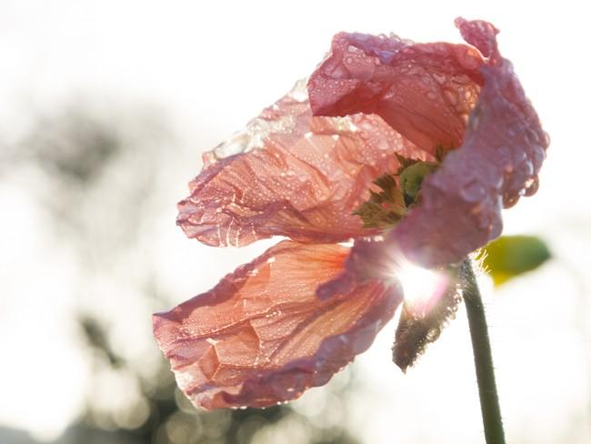 Gros plan d'une fleur de pavot rose pâle avec la rosée du matin.