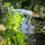 Reflet de feuillages verts sur une marre avec des carpes blanches qui nagent.